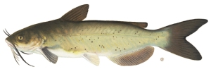 channelcatfish2